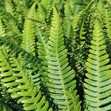 Blechnum spicant - Deer fern, ladder fern