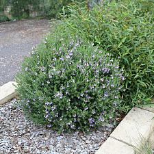 Westringia fruticosa 'Blue Gem' - Coast rosemary
