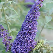Buddleja 'Buzz™ Sky Blue' - Butterfly Bush, Summer Lilac
