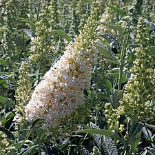 Buddleja 'Buzz™ Ivory' - Butterfly bush