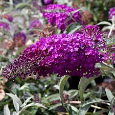 Buddleja 'Buzz™ Pink Purple' - Butterfly bush