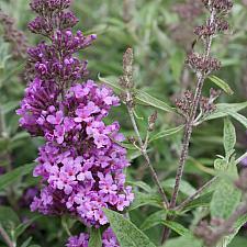 Buddleja 'Buzz™ Violet' - Butterfly bush