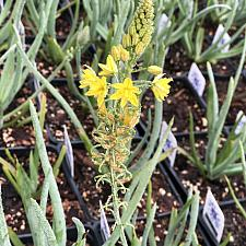 Bulbine frutescens (Yellow) - Bulbine stalked
