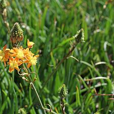 Bulbine frutescens 'Tiny Tangerine' - Tangerine stalked bulbine