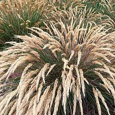 Calamagrostis foliosa - Cape Mendocino reed grass