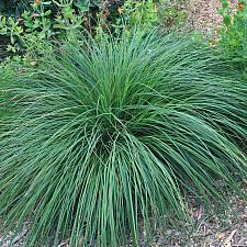 Carex nudata - California black-flowering sedge