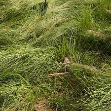 Carex pansa - California meadow sedge