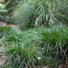 Carex divulsa 'Westfield' - Berkeley sedge