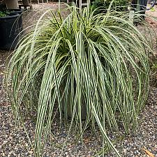 Carex 'Feather Falls' - Feather Fall sedge