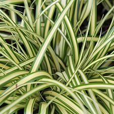 Carex oshimensis 'Evergold' - Variegated Japanese sedge