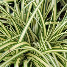 Carex oshimensis 'Evergold' - Variegated Japanese sedge