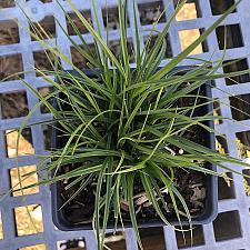 Carex subfusca - Sedge