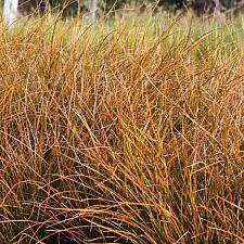 Carex testacea - Orange New Zealand sedge