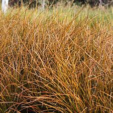 Carex testacea - Orange New Zealand sedge
