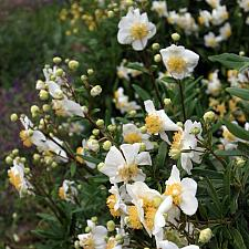 Carpenteria californica 'Elizabeth' - Bush anemone