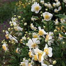 Carpenteria californica 'Elizabeth' - Bush anemone