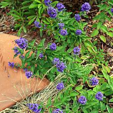 Caryopteris incana - Blue beard