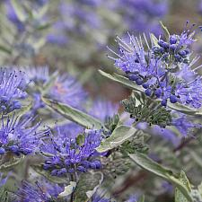 Caryopteris x clandonensis 'Sterling Silver' - Blue beard