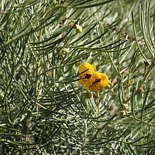 Senna artemisioides - Wormwood cassia