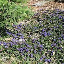 Ceanothus 'Centennial' - California lilac