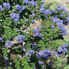 Ceanothus 'Julia Phelps' - California lilac
