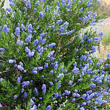 Ceanothus thyrsiflorus 'Skylark' - Blue blossom