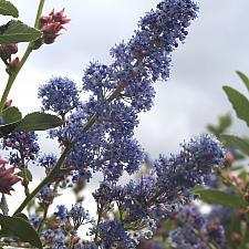 Ceanothus 'Antonette' - Antonette lilac