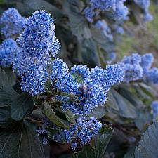 Ceanothus arboreus 'Trewithen Blue' - Feltleaf ceanothus