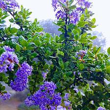 Ceanothus 'Cynthia Postan' - California lilac