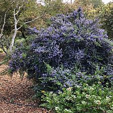 Ceanothus 'Ebbets Field' - California lilac