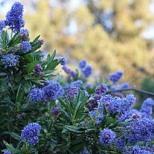 Ceanothus 'Far Horizons' - California lilac