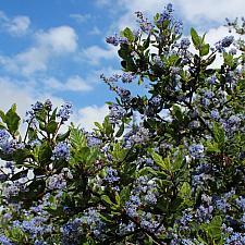 Ceanothus impressus var. nipomensis 'Mesa Lilac' - Ceanothus