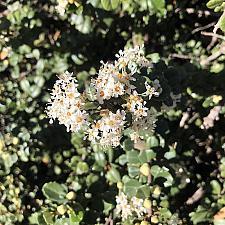 Ceanothus maritimus 'Popcorn' - Maritime ceanothus