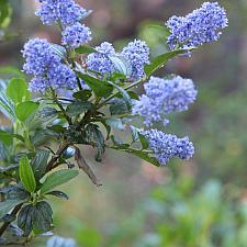 Ceanothus thyrsiflorus - California Lilac