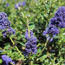 Ceanothus thyr. var. griseus 'Kurt Zadnik' - California lilac