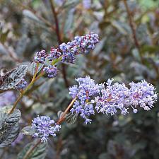 Ceanothus 'Tuxedo' - California lilac
