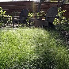 Carex praegracilis - Clustered field sedge
