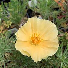 Eschscholzia californica 'Champagne & Roses' - California Poppy