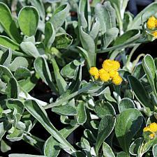 Chrysocephalum apiculatum 'Desert Flame' - Yellow buttons