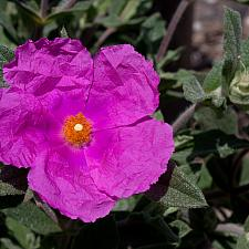 Cistus x pulverulentus 'Sunset' - Rock rose