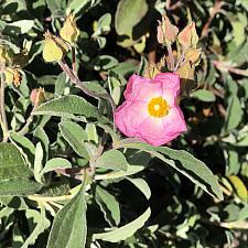 Cistus 'Silver Pink' - Rock rose