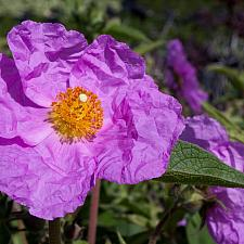 Cistus x ralletii - Rock rose