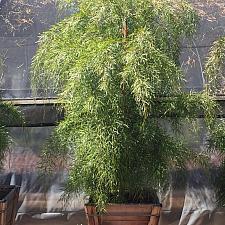 Acacia cognata - River wattle