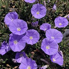 Convolvulus sabatius - Ground morning glory