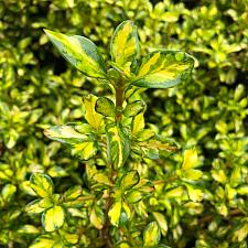 Coprosma 'Lemon and Lime' - Mirror bush