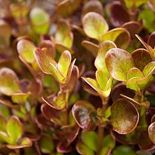 Coprosma repens 'County Park Red' - Mirror plant