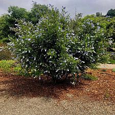 Ceanothus thyrsiflorus 'Oregon Mist' - Blueblossom, California Lilac
