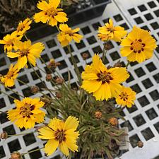 Coreopsis 'Tequila Sunrise' - Variegated tickseed