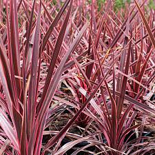Cordyline 'Cherry Sensation' - Cordyline