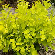Cotinus coggygria 'Golden Spirit' - Smoke bush
